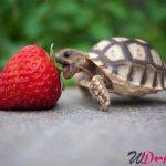 tartaruga fragola