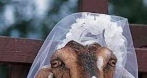 Brasile si sposa con la sua capra