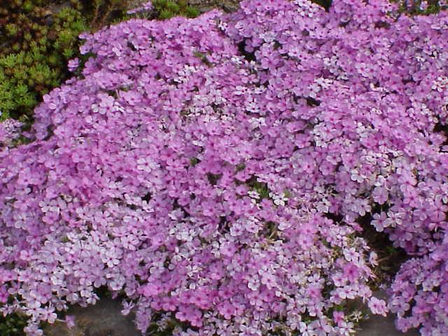 giardinaggio: fiori e tipi di piante - wdonna.it - Piante Sempreverdi Da Esterno Con Fiori
