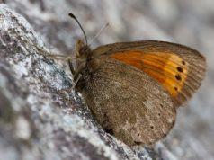 Farfalla più rara del mondo