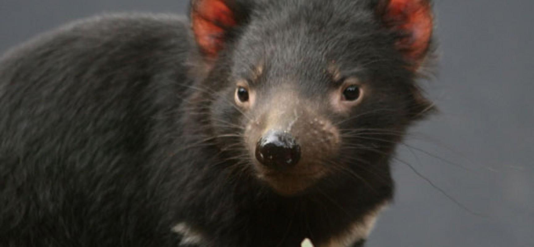 Diavolo della tasmania di nuovo in australia
