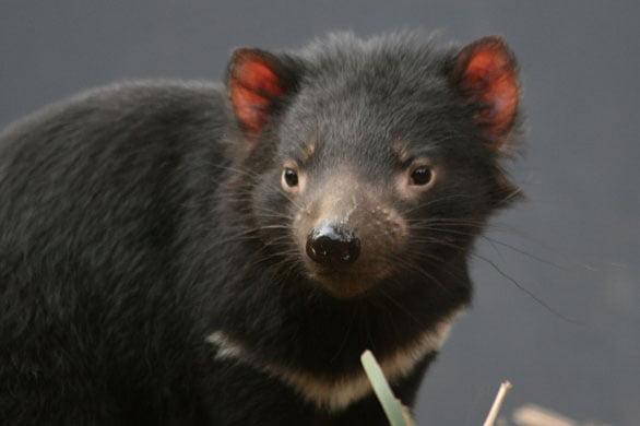 Diavolo della tasmania di nuovo in australia wdonna
